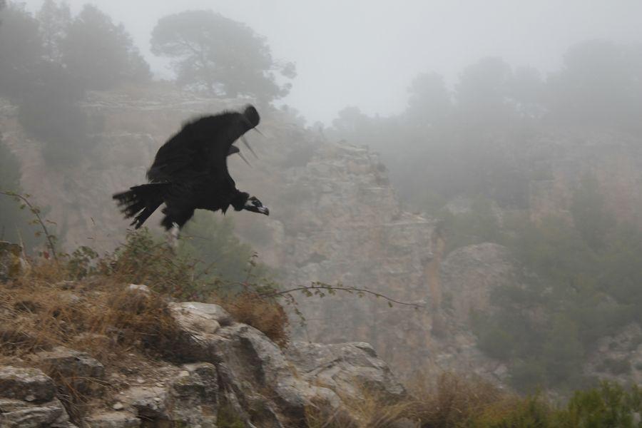 Un visitant excepcional al Projecte Canyet, un voltor negre